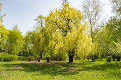 Willow tree with young foliage royalty free stock photos