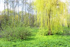 Willow tree with young leaves stock photography