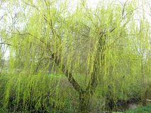 Willow tree with young leaves royalty free stock photo