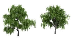 Willow trees Stock Photo