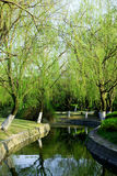 Willow trees Stock Images