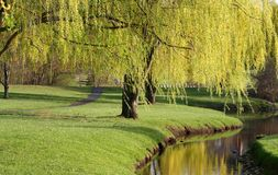 Willow Trees Royalty Free Stock Image
