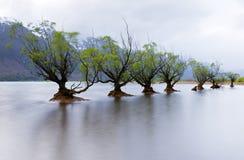 Willow Trees Foto de archivo