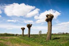 Willow Trees Fotografia Stock Libera da Diritti