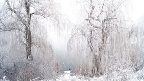 Willow Trees Arkivbilder