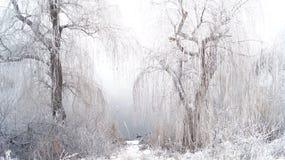 Willow Trees Stock Afbeeldingen