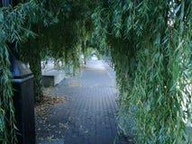 Willow Trees Immagine Stock Libera da Diritti