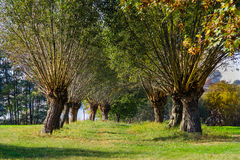 Willow trees. Avenue of willows. Polish rural lanscape, beginning of autumn royalty free stock photos