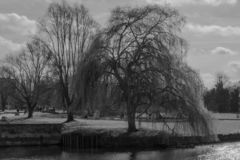 Willow trees on the banks of the rive Cam royalty free stock photo