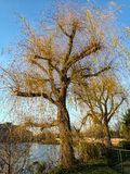 Willow trees with fall colours Royalty Free Stock Photos
