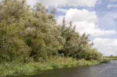 Willow trees. Royalty Free Stock Photo