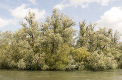 Willow trees. Royalty Free Stock Image