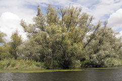 Willow trees. Stock Photography