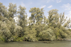Willow trees. Royalty Free Stock Images