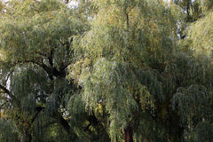 Willow trees in full leaf in autumn Stock Photos