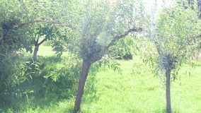 Willow trees in the garden.  stock footage