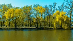 Willow trees grow in a park near. The pond stock photo