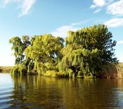 Willow trees. Growing on the bank of a river on a hot summers day Stock Images