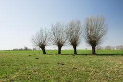 Willow trees growing in a row on a green meadow, horizon and sky. Willow trees growing in a row on a green meadow, horizon and blue sky stock photos