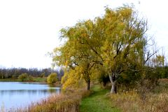 Willow Trees i vinden arkivfoto