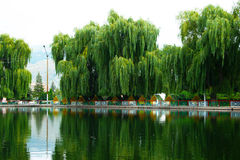 Willow trees at the lake royalty free stock photography