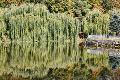 Willow trees at the lake with reflection Stock Images