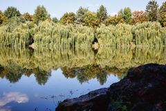 Willow trees at the lake with reflection Stock Photos
