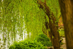Willow trees at a Lakeside Royalty Free Stock Photos