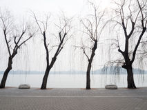 Willow trees on the lakeside Royalty Free Stock Photo