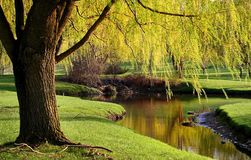 Willow Trees Landscape Stock Images
