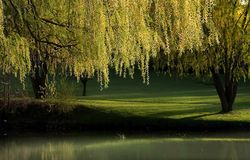 Willow Trees Landscape Royalty Free Stock Images