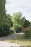 Willow trees Royalty Free Stock Photos