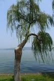 Willow trees stock photo