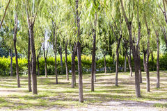 Willow trees Royalty Free Stock Photography