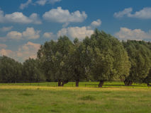 Willow trees in a meadow and blue sky with clouds Royalty Free Stock Photography