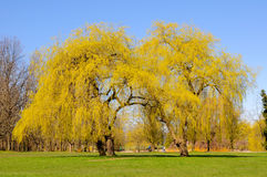 Willow trees with new leaves in a park Royalty Free Stock Image