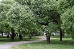 Willow trees in a park on a windy day. Wind blows through the foliage of the willow trees in public park royalty free stock image