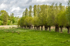 Willow trees. A row of willow trees along a meadow royalty free stock photo
