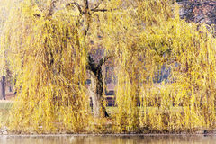 Willow trees in spring time. See my other works in portfolio stock photography