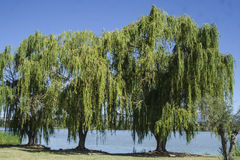 Willow trees, in the swamp Royalty Free Stock Image