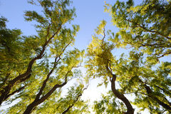 Willow trees. Under blue sky royalty free stock image