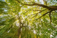 Willow trees, wide angle. Ultra wide angle of willow trees stock photography