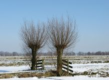 Willow trees in winter Royalty Free Stock Images