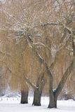 Willow trees in winter Stock Images