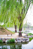 Willow Trees at Yuan Ming Yuan, Summer Palace, Beijing, China. Weeping willow tree on the bank of a river in the spring stock images