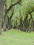 Willow Tress In Forest Nursery In Kashmir Valley la India imagen de archivo libre de regalías