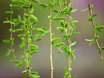 Willow twig Stock Image