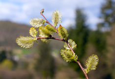 Willow twig with buds Royalty Free Stock Photos