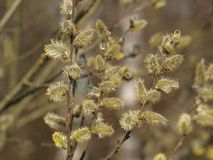 Willow twig with flowers. South Bohemia stock image