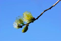 Willow twig Stock Photos